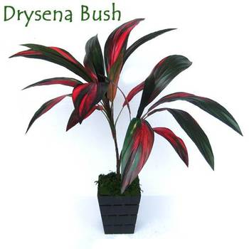 Red Drysena Plant